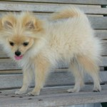 doggies puppy , 6 Cool Pomeranian Puppy Uglies In Dog Category