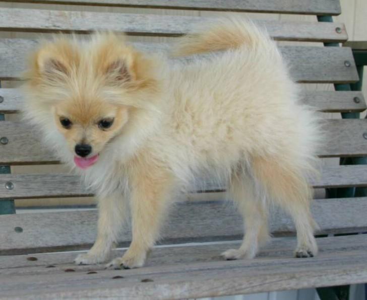 Doggies Puppy : 6 Cool Pomeranian Puppy Uglies ...