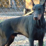 dogs , 8 Cool Warlock Doberman Puppies For Sale In Dog Category