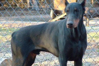 Dog , 8 Cool Warlock Doberman Puppies For Sale : dogs