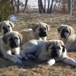 dogs kangal , 7 NIce Kurdish Kangal Puppies For Salekurdish Kangal Puppies For Sale In Dog Category