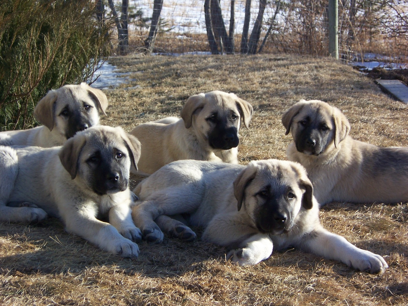 dogs kangal 7 nice kurdish kangal puppies for salekurdish kangal puppies for sale biological. Black Bedroom Furniture Sets. Home Design Ideas
