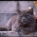 exotic shorthair , 9 Awesome Types Of Persian Cats In Cat Category