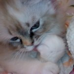 face Persian kitten , 6 Cute Doll Face Persian Cat In Cat Category