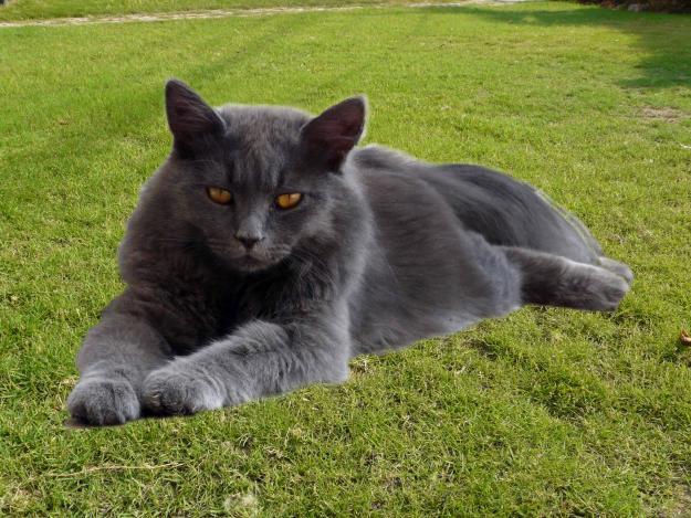 female persian cat