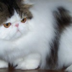 fluffy hair Persian cats , 7 Nice Persian Cat Temperament In Cat Category