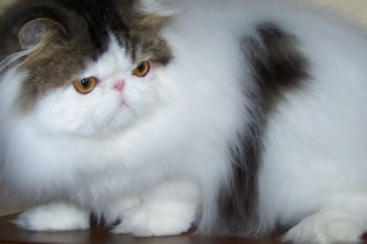 Fluffy Hair Persian Cats , 7 Nice Persian Cat Temperament In Cat Category