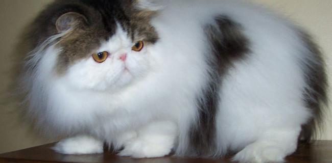 Cat , 7 Nice Persian Cat Temperament : Fluffy Hair Persian Cats