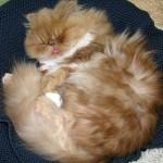 ginger persian cat , 10 Fabulous Persian Cat Rescue California In Cat Category