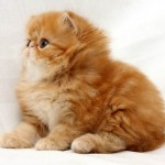 ginger persian cat , 7 Cute Persian Cat Lifespan In Cat Category