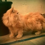 girl names for cats , 8 Beautiful Persian Names For Cats In Cat Category