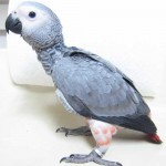 grey parrot price image , 8 Nice African Grey Parrot Price In Birds Category