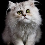 grey persian cat , 5 Nice Persian Cat Personality In Cat Category