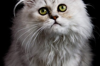 Grey Persian Cat , 5 Nice Persian Cat Personality In Cat Category
