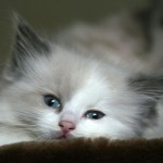 grey persian cat , 8 Beautiful Persian Names For Cats In Cat Category