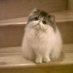 grooming persian cats , 8 Cute Grooming A Persian Cat In Cat Category