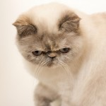 hair persian kitten , 8 Good Short Haired Persian Cat In Cat Category