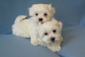 Havanese Breeders , 7 Cute Yuppy Puppy Havanese In Dog Category