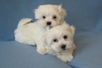 Havanese Breeders , 7 Cute Yuppy Puppy Havanese In Dog Category