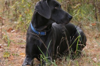 Ridge Weimeraners  , 4 Cool Weinheimer Puppies For Sale In Dog Category