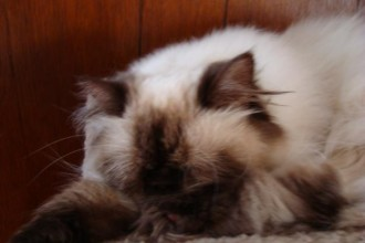 Himalayan Cat , 7 Charming Persian Himalayan Cat In Cat Category