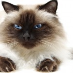 himalayan cat picture , 7 Charming Himalayan Persian Cat In Cat Category