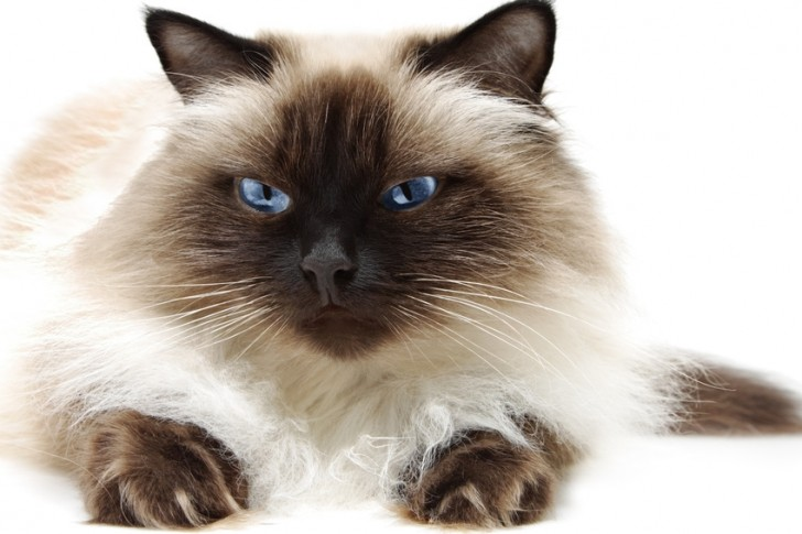 Cat , 7 Charming Himalayan Persian Cat : Himalayan Cat Picture