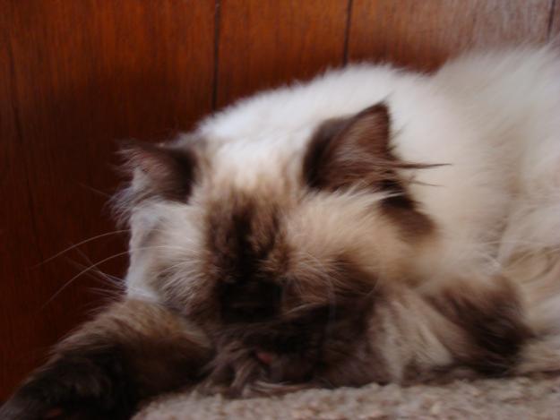 Cat , 7 Charming Persian Himalayan Cat : Himalayan Cat