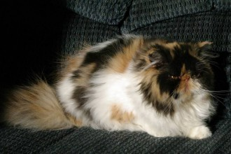 Himalayan Cat , 8 Cool Calico Critters Persian Cat Family In Cat Category