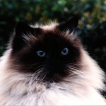 himalayan cat , 7 Charming Himalayan Persian Cat In Cat Category