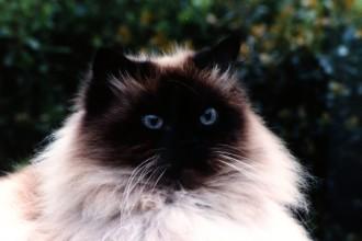Himalayan Cat , 7 Charming Himalayan Persian Cat In Cat Category