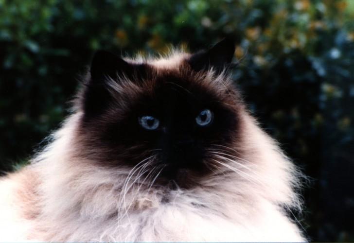 Cat , 7 Charming Himalayan Persian Cat : Himalayan Cat