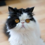 himalayan cats , 9 Good Do Persian Cats Shed In Cat Category