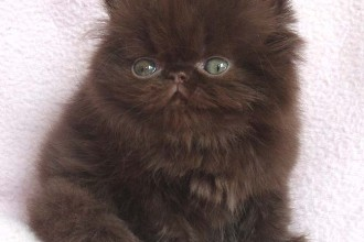 Himalayan Kitten For Sale , 9 Fabulous Persian Cats Breeders In Cat Category