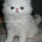 himalayan kitten , 9 Fabulous Persian Cats Breeders In Cat Category