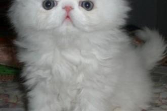 Himalayan Kitten , 9 Fabulous Persian Cats Breeders In Cat Category