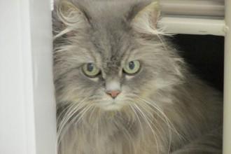 Himalayan Persian Cat , 9 Cute Persian Himalayan Cat Rescue In Cat Category