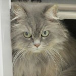 himalayan persian cat , 8 Cool Persian And Himalayan Cat Rescue In Cat Category