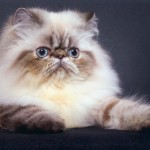 himalayan persian cat , 8 Cool Persian Himalayan Cats In Cat Category