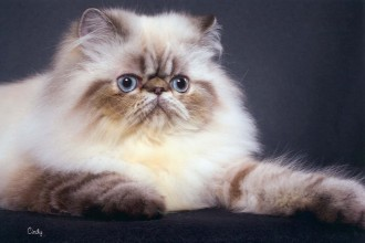 himalayan persian cat in Laboratory