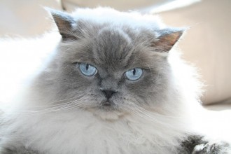 himalayan persian cat in Dog