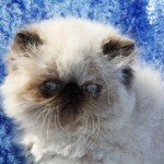 himalayan persian cat , 7 Charming Persian Himalayan Cat In Cat Category