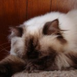 himalayan persian cat , 7 Charming Himalayan Persian Cat In Cat Category