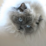himalayan persian , 7 Charming Persian Himalayan Cat In Cat Category