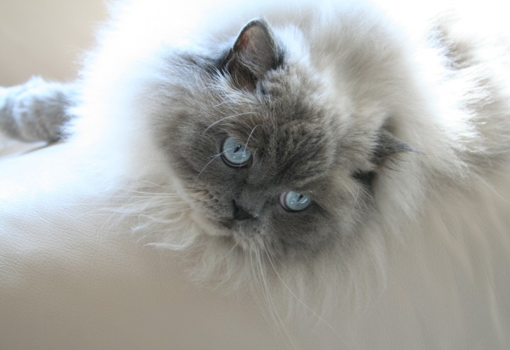 Cat , 7 Charming Persian Himalayan Cat : Himalayan Persian