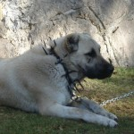 husky puppies for sale , 7 NIce Kurdish Kangal Puppies For Salekurdish Kangal Puppies For Sale In Dog Category