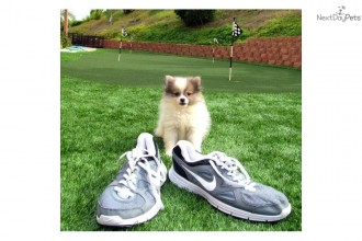 Husky Puppies In Oklahoma , 6 Cute Pomsky Puppies For Sale In Oklahoma In Dog Category