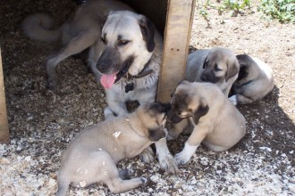 Kangal Dog Puppies , 7 NIce Kurdish Kangal Puppies For Salekurdish Kangal Puppies For Sale In Dog Category