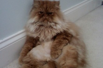 Kitten Persian , 6 Awesome Persian Cats Personality In Cat Category