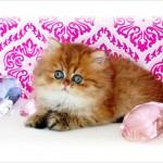kitten persian , 8 Wonderful Toy Persian Cats In Cat Category